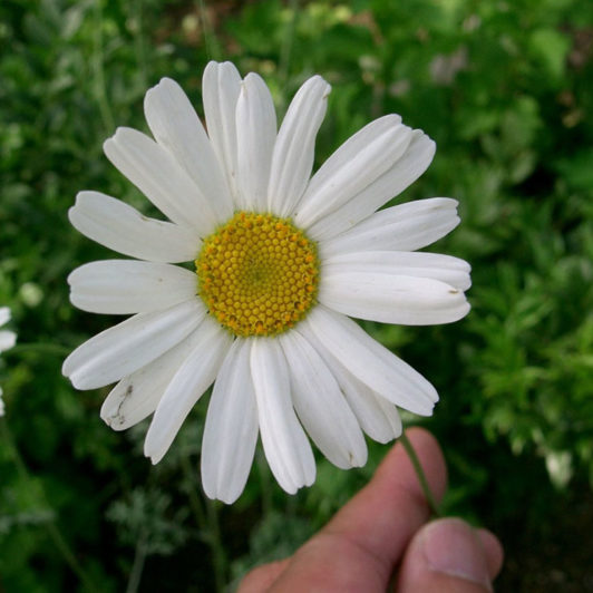 BUHAČ – PRIRODNI INSEKTICID: uzgoj i priprema insekticida