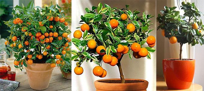 Drvo mandarine